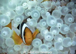Two bar Anemone fish (I think).  I had always wanted to t... by Justin Van Rensburg 